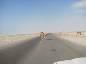 Kamel auf der Strasse